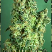 Warhammer Feminised Cannabis Seeds | Rockwell Seeds