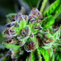 Watermelon Zkittlez Feminised Cannabis Seeds | Pyramid Seeds USA Range