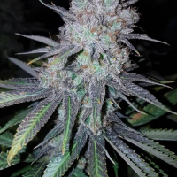 Wedding Cake Feminised | Concrete Jungle Seeds