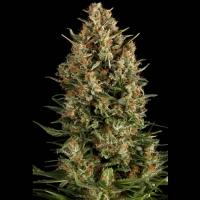 Auto Wembley Feminised Cannabis Seeds | Pyramid Seeds