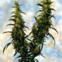 Western Winds Feminised Cannabis Seeds | Sagarmartha Seeds