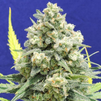 White Critical Feminised Cannabis Seeds | Original Sensible Seeds