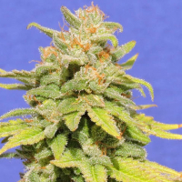 White Crystal Meth Auto Feminised Cannabis Seeds | Original Sensible Seeds