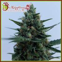 White Rush Auto Feminised Cannabis Seeds | Dr Krippling