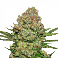 White Widow Auto Feminised Cannabis Seeds   Seed Stockers