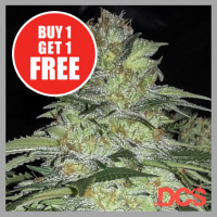 White Widow x Big Bud Feminised Cannabis Seeds | DCS