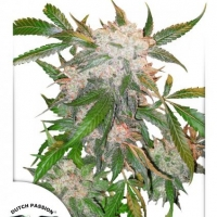 White Widow Feminised Cannabis Seeds | Dutch Passion