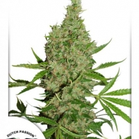 White Widow x The Ultimate Regular Cannabis Seeds | Dutch Passion