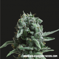 White Widow 47 Feminised Cannabis Seeds | Kalashnikov Seeds