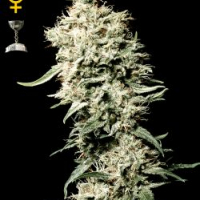 White Rhino Feminised Cannabis Seeds | Green House Seeds