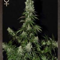 White Strawberry Skunk Feminised Cannabis Seeds | Strain Hunters