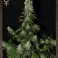 White Strawberry Skunk Feminised Cannabis Seeds | Strain Hunters