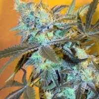 White Widow Feminised Cannabis Seeds | Spliff Seeds