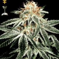White Widow Feminised Cannabis Seeds | Green House Seeds
