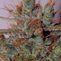 White Widow Regular Cannabis Seeds | Spliff Seeds