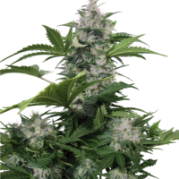 Buddha Seeds White Dwarf Feminised Cannabis Seeds