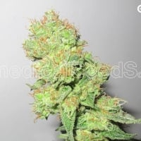 Y Griega CBD Feminised Cannabis Seeds