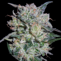 Zamaldelica x Kali China Feminised Cannabis Seeds | Ace Seeds