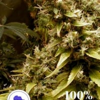 Zim-Licious Regular Cannabis Seeds | Seeds of Africa