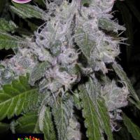 Zkittlez Feminised Cannabis Seeds | Kera Seeds