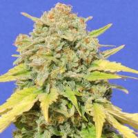 Zkittlez Feminised Cannabis Seeds | Original Sensible Seeds
