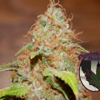 Zkittlez Regular Cannabis Seeds | Purple Caper Seeds