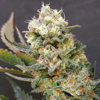 Zkittlez Glue Feminised Cannabis Seeds | Expert Seeds