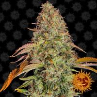 Zkittlez OG Auto Feminised Cannabis Seeds | Barney's Farm