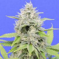 Zkittzy Gorilla Feminised Cannabis Seeds | Original Sensible Seeds