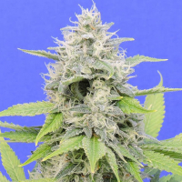 Zkittzy Gorilla Feminised Cannabis Seeds | Original Sensible Seeds