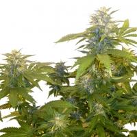 Bonkers Regular Cannabis Seeds | Next Generation Seeds