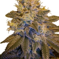Grapefruit Kush Regular Cannabis Seeds | Next Generation Seeds