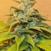 NG69 Feminised Cannabis Seeds | Next Generation Seeds