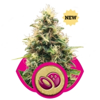 Somango XL Feminised Cannabis Seeds | Royal Queen Seeds
