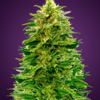 Auto Amnesia Feminised Cannabis Seeds | Advanced Seeds