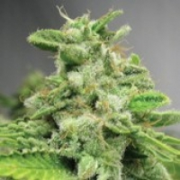 Advanced Seeds Afghan Skunk Feminised Cannabis Seeds
