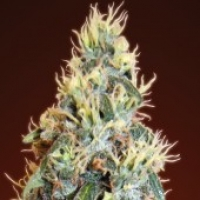 Advanced Seeds Auto Jack Herer Feminised Cannabis Seeds