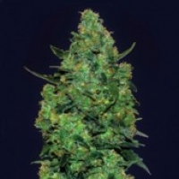 Advanced Seeds Auto Skunk Mass Feminised Cannabis Seeds