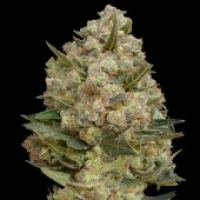 Advanced Seeds Critical  Feminised Cannabis Seeds