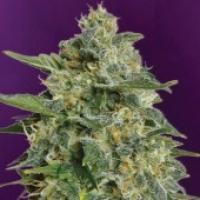 Advanced Seeds Heavy Bud Feminised Cannabis Seeds