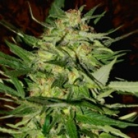 Advanced Seeds Jack Plant Feminised Cannabis Seeds