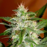 Advanced Seeds Kaya 47 Feminised Cannabis Seeds