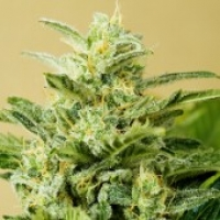 Advanced Seeds Auto Low Girl Feminised Cannabis Seeds