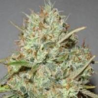 Advanced Seeds Shark Widow Feminised Cannabis Seeds