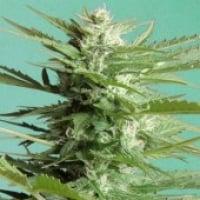 Advanced Seeds Auto Sweet Dwarf Feminised Cannabis Seeds