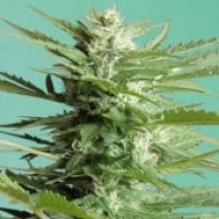 Advanced Seeds Auto Sweet Dwarf Feminised Cannabis Seeds