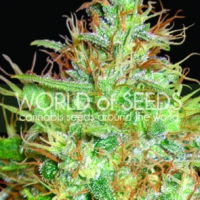Afghan Kush x Skunk Feminised Cannabis Seeds | World of Seeds
