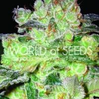 Afghan Kush x White Widow Feminised Cannabis Seeds | World of Seeds