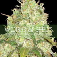 Afghan Kush x Yumbolt Feminised Cannabis Seeds | World of Seeds