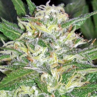 Buy Apothecary Genetics Afghan OG Regular Cannabis Seeds